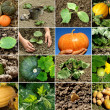 Pumpkin collage — Stock Photo