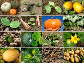 Pumpa collage — Stockfoto