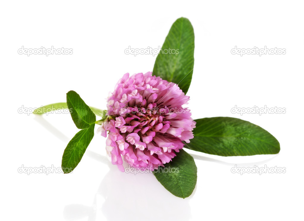 Red clover flower on white background — Stock Photo #6814995