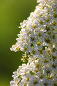 Spirea. White spring flower. — Stock Photo
