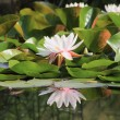 White waterlily. Water the flower. — Stock Photo