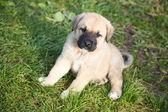 Puppy of the Spanish mastiff on a grass — Stock Photo