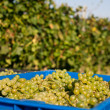 Harvesting of grapes — Stock Photo #7561777