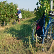 Harvesting of grapes — Stock Photo #7561810