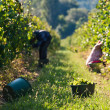 Harvesting of grapes — Stock Photo #7561907