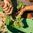 Royalty-Free Stock Photo: Harvesting of grapes