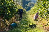 Harvesting of grapes — Stock Photo
