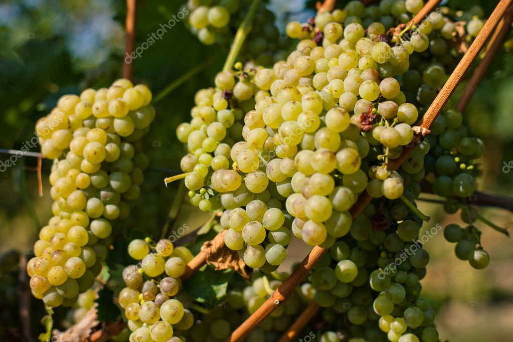 Vine with ripe berries grapes for wine — Stock Photo #7562083