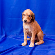 Saluki pup — Stock Photo #7822884