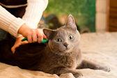 Crey cat — Stock Photo