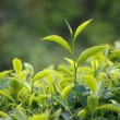 Tea bud and leaves — Stock Photo