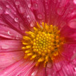 Dahlia flower close up with water droplets - Stock Photo
