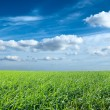 Field of green fresh grass under blue sky — Stock Photo
