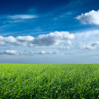 Field of green fresh grass under blue sky — Stock Photo #7341407