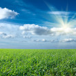 Sunset sun and field of green fresh grass under blue sky — 图库照片