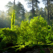 Morning forest with sunrays — Stock Photo #7341456