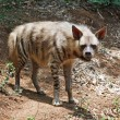 Stock Photo: Striped hyaena