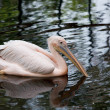 Rosy pelican - Stock Photo