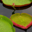 Amazon lily floating on water - Stock Photo