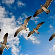 Seagulls flying — Stock Photo