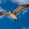 Seagull flying — Stock Photo #7341732