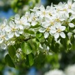 Apple tree blossoming branch — Stock Photo #7341749