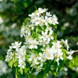 Apple tree blossoming flowers — Stock Photo