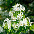 Stock Photo: Apple tree blossoming flowers