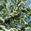 Stock Photo: Apple tree blossom