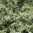 Stock Photo: Apple tree blossoming branch