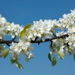 Apple tree blossoming branch — Stock Photo #7341762