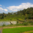 Green rice terraces — Stock Photo #7341786
