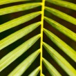 Palm leaf close up - Foto de Stock