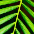 Palm leaf close up - Stock Photo