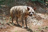 Полосатая гиена — Стоковое фото