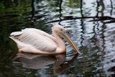 Rosy pelican — Stock Photo