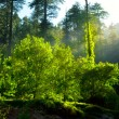 Stock Photo: Morning forest with sunrays