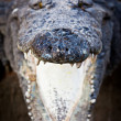 Charging crocodile jaws - 图库照片