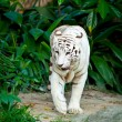 White tiger — Stock Photo #7735611