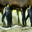 King Penguins (Aptenodytes patagonicus) - Stock Photo