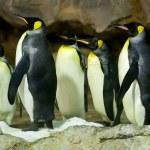 King Penguins (Aptenodytes patagonicus) — Stock Photo