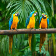 Blue-and-Yellow Macaw — Stock Photo #7735616