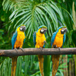 Blue-and-Yellow Macaw — Stock Photo
