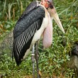 Marabou Stork - Stock Photo