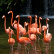 American Flamingo (Phoenicopterus ruber), Orange flamingo - Stock Photo