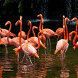 American Flamingo (Phoenicopterus ruber), Orange flamingo - Foto Stock