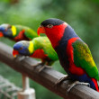 Stock Photo: Black-capped lories (Lorius lory)