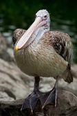 Spot-billed Pelican or Grey Pelican (Pelecanus philippensis) — Stock Photo