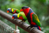 Black-capped lories (Lorius lory) — Stock Photo