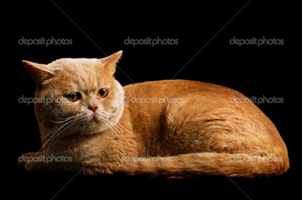 Creamy tabby scottish straight shorthair  cat isolated on black — Stock Photo #6967468